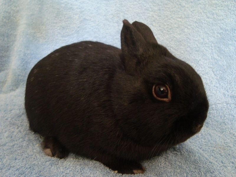 Dark Brown Dwarf Bunnies (page 2) - Pics about space