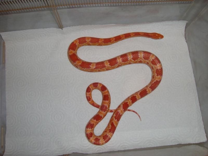 Jungle Corn Snake Amelanistic Corn Snake